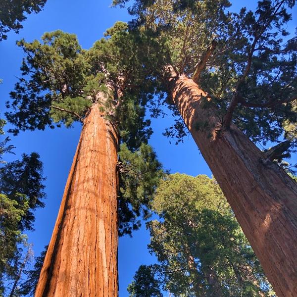 sequoia_mammutbäume_camping