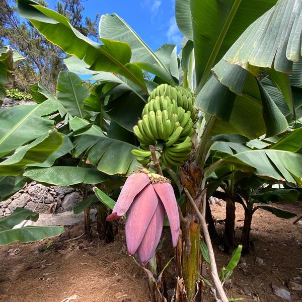 bananenplantage_teneriffa